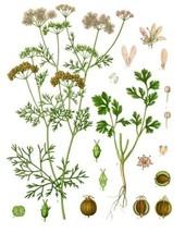 150 Leisure Coriander Cilantro Herb Seeds Heirloom 2019 ( Non-Gmo Free Shippin ) - $5.12