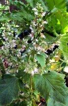 15 Seeds of Pogostemon Heyeanus - Patchouli - $14.84