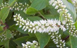 """Henry's Garnet Itea Virginica Sweetspire  4"""" pot image 3"""