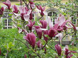 Jane Magnolia gallon pot shrub/tree image 3