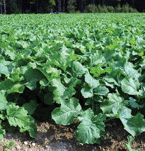SHIP From US, 1000 Seeds Canola Rape - Kale, DIY Healthy Vegetable AM - $60.99