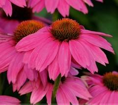 50 Seeds Heirloom Echinacea 'Powwow Wild Berry' Coneflower Flower Seeds  - $4.95