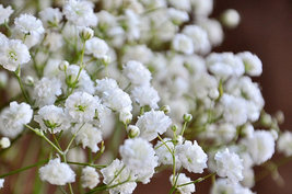 Heirloom 600 Seeds Gypsophila Rosea White Babys breath Bulk Annuals Flow... - $9.88