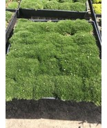 IRISH MOSS Live Plants FLAT OF PLANTS - $52.25