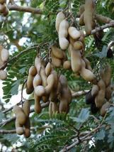 1 Packet of 10 Seeds Tamarind Tree - Fabales Fabaceae - Tamarindus Indica - $17.54