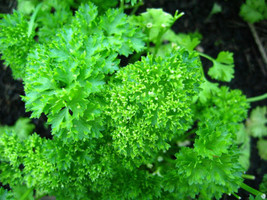 SHIP FROM US 500 FOREST GREEN PARSLEY Petroselinum Crispum Double Seeds ... - $12.00