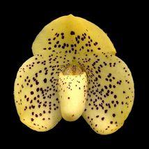 Paph Wenshanense conco seedling plant -bellatulum orchid species native ... - $43.98