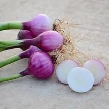 1/2 Gram Seeds of Purplette Onion - $21.68