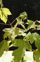Live Starter Plant Trident Maple Bonsai Tree Garden Outdoor Yard Best Gift - $66.00