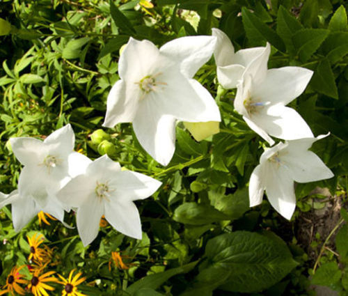 Primary image for BALLOON FLOWER WHITE Platycodon Grandiflorus - 100 Seeds