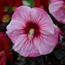"2.5"" pot 1 Live Potted Plant bush hibiscus Cherry Choco Latte perennial ... - $32.99"