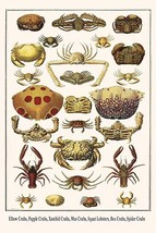 Elbow Crabs, Pepple Crabs, Xanthid Crabs, Mus Crabs, Squat Lobsters, Box Crabs,  - $19.99+