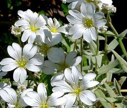 15,000 Bulk Seeds Snow In Summer Cerastium Tomentosum, DIY Decorative Plant ov04 - $43.18