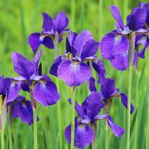 25 Seeds - Siberian Iris Perennial Flower - $4.99