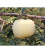 10pcs High yield Big White Sweet Apple,Very Tasty Edible Fruits IMA1 - $13.99