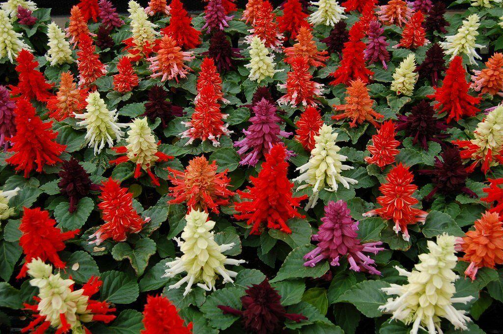 100 Salvia Seeds Reddy Mix FLOWER SEEDS - Garden Seeds - Outdoor Living - $34.99