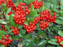 25 seeds - Scarlet Firethorn Pyracantha Coccinea Bush Shrub #SFB15 - $17.99