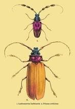 Beetles: Prianus Corticinus and Lanhonocerus Harbicarnis #2 by Sir William Jardi - $19.99+