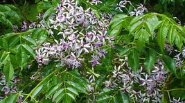 SHIP From US, 50 Seeds Chinaberry Tree Seeds, DIY Garden Tree AM - $54.99