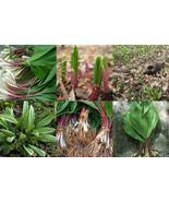 40 Seeds Ramps, Ramsons, Bear Leek, Wild Onion, Wild Leek, Wood Leek,Wil... - $9.99