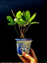 Cardboard Palm Bonsai Tree Micro Bonsai + Porcelain Vintage Handmade flower pot - $119.64