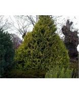 Lawson-cypress-chamaecyparis-lawsoniana_2_640x512_thumbtall