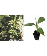 Live Plant Veinte Cohol Banana Tree Live Plant - Musa - Gardening - $60.99