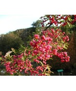 European-spindle-tree-euonymus-europaeus_0_640x512_thumbtall