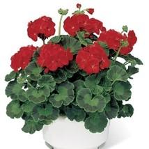 15 Seeds of Geranium Pinto Premium Scarlet - $16.83