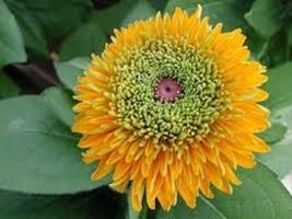 NEW! 30+ RUDBECKIA MAYA FLOWER SEEDS - $4.89