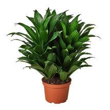 "1 Live Plant - Dracaena 'Janet Craig ' 6"" Pot #HPS13 - $57.99"