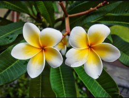 "12-20"" - Tropical Plumeria Plant - Starter Seedling - Yellow ""Vera Cruz ... - $45.00"
