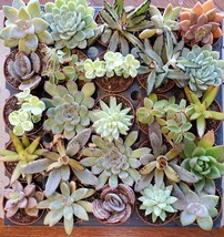 """Succulent Mystery Box, set of 3 live plants, 2"""" Assorted Variety Valentines Gift image 1"""