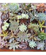 """Succulent Mystery Box, set of 3 live plants, 2"""" Assorted Variety Valenti... - $14.99"""