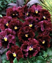NEW! 30+ RUFFLED PANSY FRIZZLE SIZZLE BURGANDY FLOWER SEEDS  / PERENNIAL - £4.03 GBP