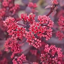 48 Sedum ' Chocolate Cherry - Live Plant - Perennial Ground Cover - Succulent - $126.42
