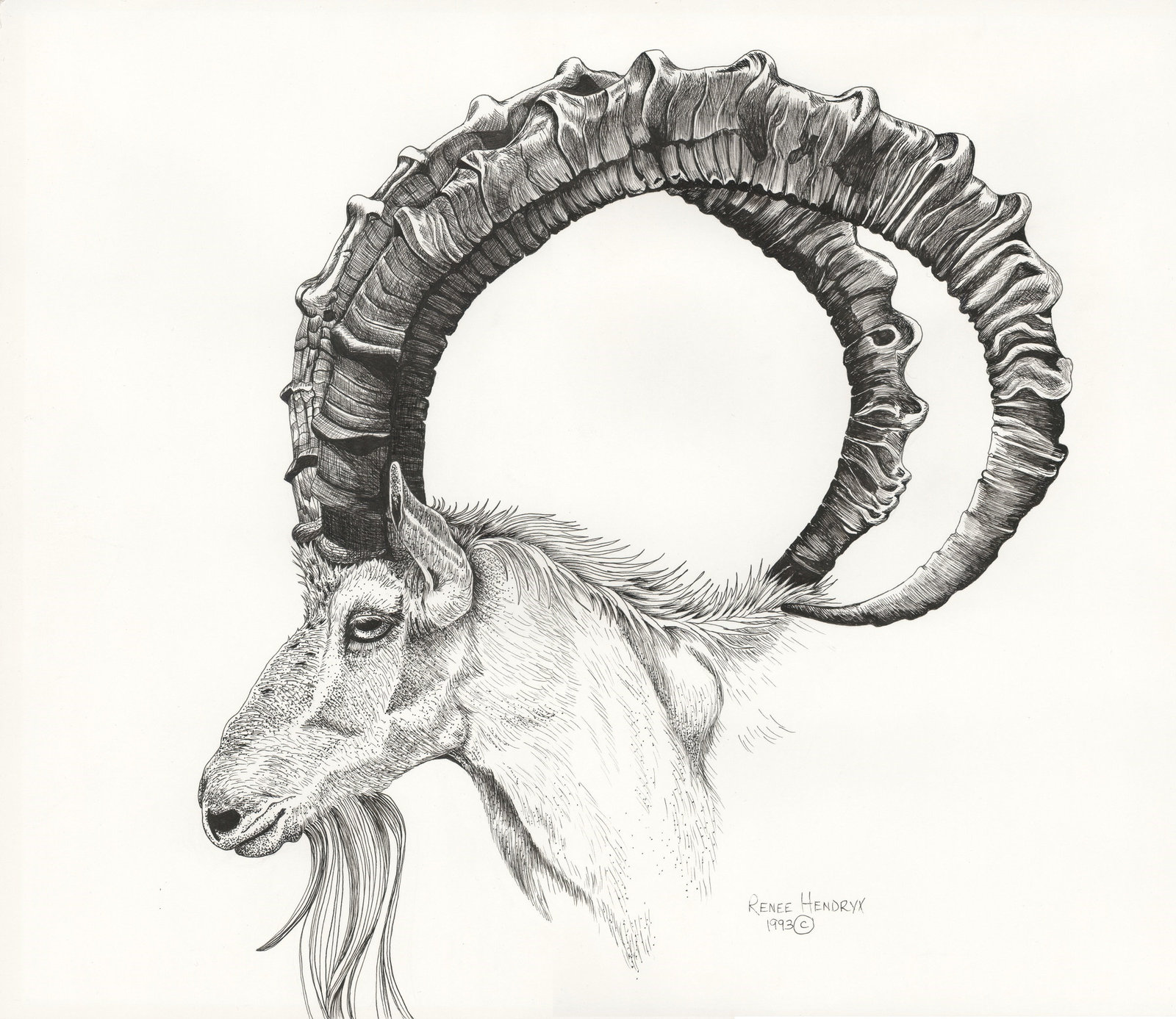 Wild Goat, Ibex, Framed Wildlife Art Print,Pen and Ink, Animal Art Print, Home D