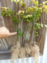 Dwarf Burning Bush 10 bare root plants-Euonymus alatus hardy shrub image 2