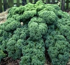 Kale Blue Curled Scotch 500 seeds * Non GMO * ez grow * E62 - $17.15