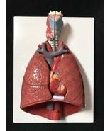 3B Scientific Lung Model with larynx, 7 part, Anatomical Model Anatomy G... - $295.00