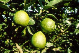 Key Lime Citrus Tree Live Grafted Fruit Plant  5 gallon 3-4 Feet Tall or taller - $59.99