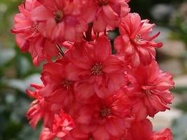 50+ Red Delphinium Flower Seeds / Long Lasting Perennial – Gardening - SBS - $33.95