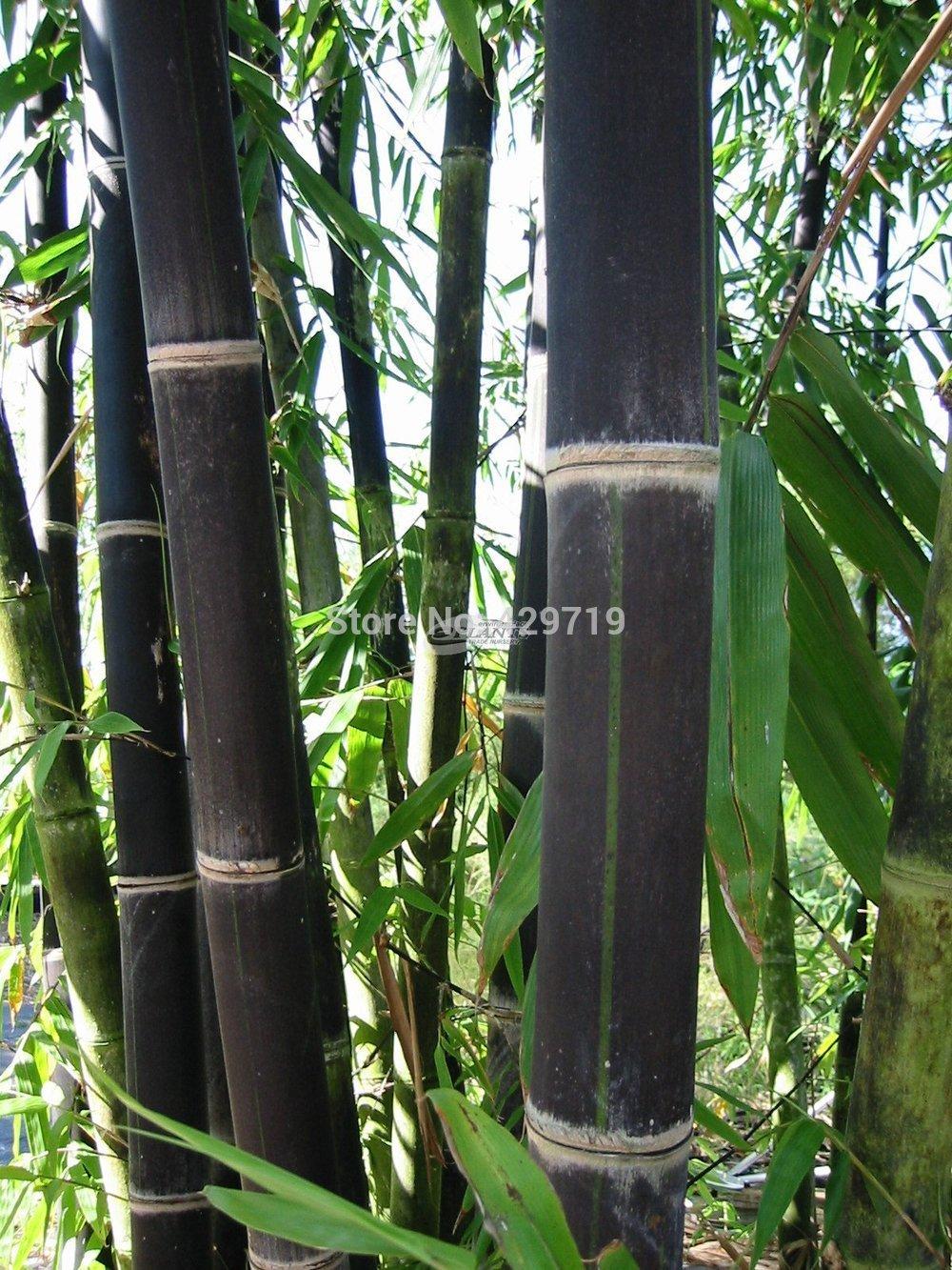 100 bamboo seeds rare giant black moso bamboo bambu seeds professional pack
