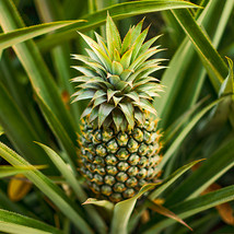 Ananas comosus Pineapple Plant  ELITE GOLD COLD HARDY Pinepple Plant - $54.99