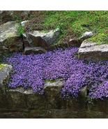 100Pcs Creeping Mother of Thyme Seeds Thymus Serpyllum Herb Seed - €16,25 EUR