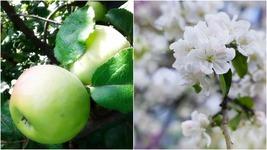 Mutsu Apple Tree (3-4') - Home Gardening Outdoor Living - $79.99