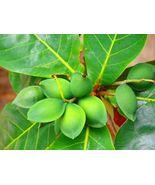 Live Plant Almond Tropical Live Tree fruit Terminalia Catappa rare exotic - $61.99