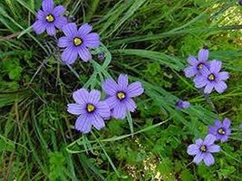 100 Blue Eyed Grass Seeds - $6.93