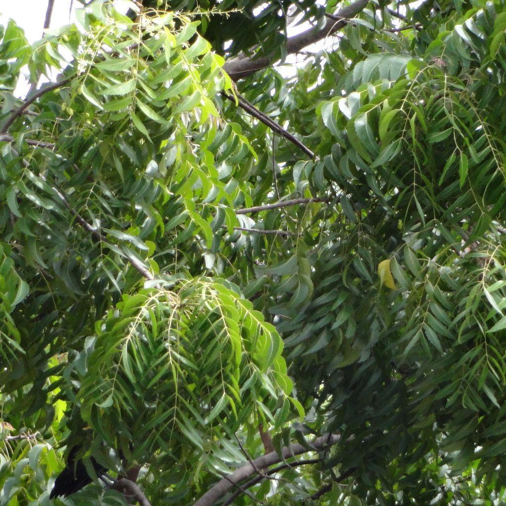 Neem Tree Seeds