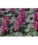 100 Salvia Seeds Vista Lavender Flower Seeds Garden Starts Nursery TkMor... - $35.64